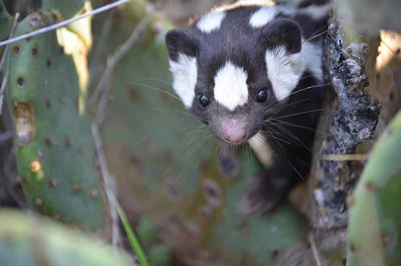 Close-up of a skunk's face, black with white spots, peeking out from behind a cactus