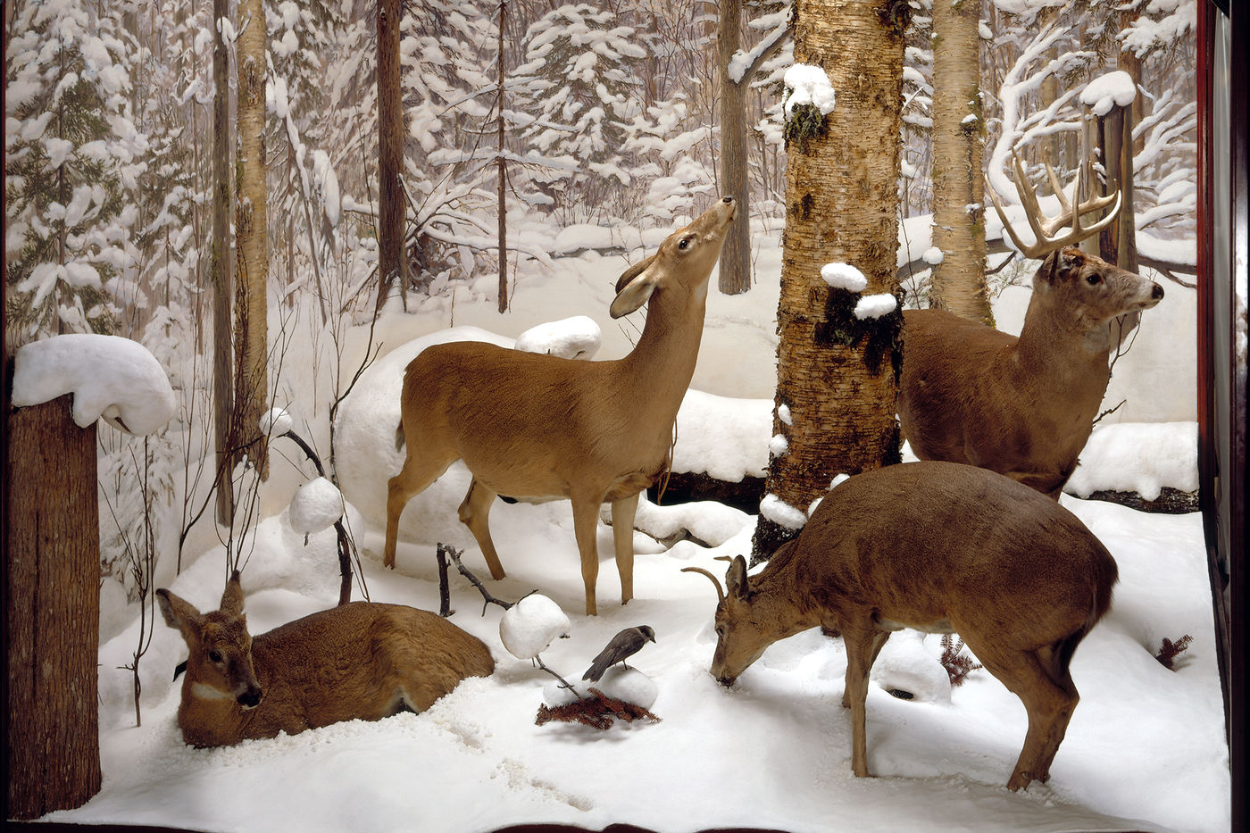 Taxidermied white-tailed deer specimens inside a diorama staged to resemble a winter forest with snow covering the ground and snow-covered trees in the background. Three deer, one with antlers, stand around a tree, and the fourth lies down in the left corner.