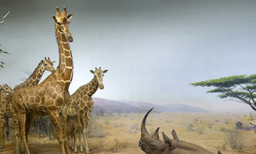 A cropped photo of the African Water Hole diorama, featuring a family of giraffe on the left, a rhinoceros in the bottom center, and several zebra on the right.