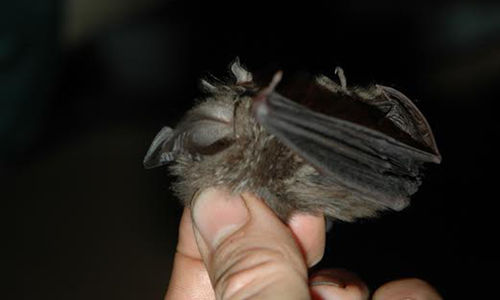 Close up of a nose-leaf bat being held between someone's thumb and two fingers.