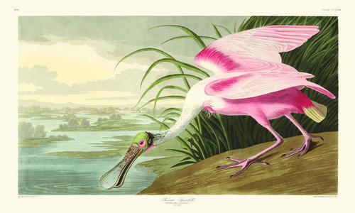 Plate showing a Roseate Spoonbill, from John James Audubon's Birds of America.
