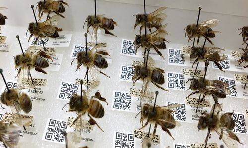 Rows of pinned bee specimens