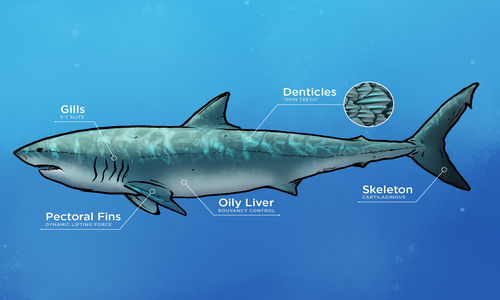 Graphic of a shark pointing to different physical characteristics