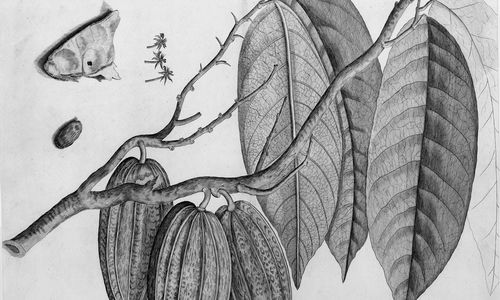 Black and white illustration of a branch with leaves and large football-shaped pods
