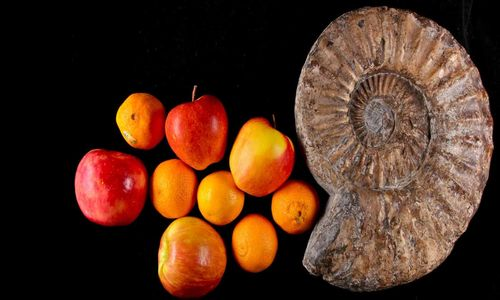 A spiral shell-like fossil next to apples and oranges