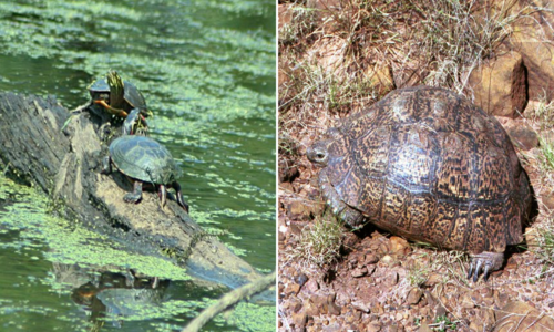 Left: Two green turtles on a log in a lake with green algae. Right: A large brown turtle with a tall shell sitting among rocks and grass.