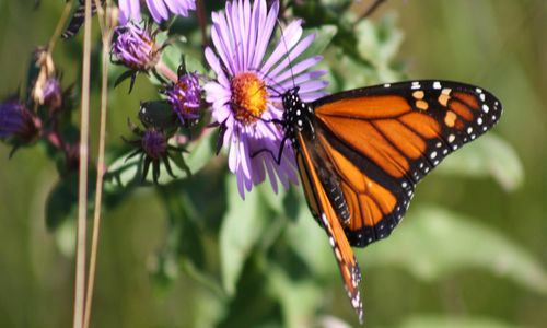 A bright orange and black butterfly on a purple flower with yellow center