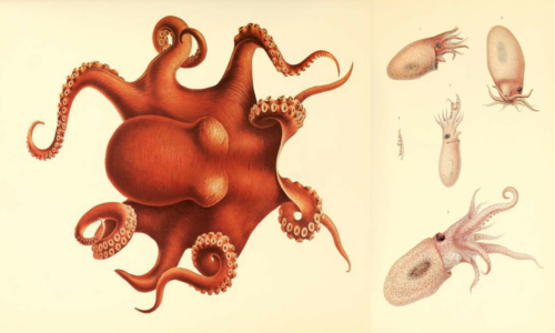 Illustration of large orange octopus; illustration from different angles of a pink speckled octopus