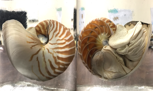 Cross section of a nautilus shell, with one view of the outside that's white with orange stripes, and one view of the inside chambers of the shell and the animal
