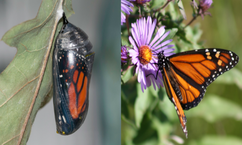 A butterfly cocoon, and an orange and black butterfly on a purple flower.
