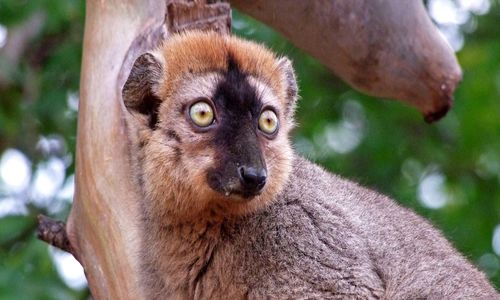 A brown lemur sitting in a tree, staring ahead with wide eyes.