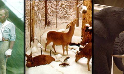 "A composite of three photographs related to taxidermist Carl Akeley: Akeley standing near a leopard he killed, one scene from the ""Four Seasons of the Deer"" diorama, and a view of African elephants."