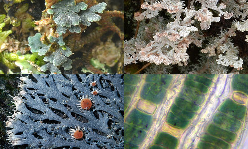 Lichens: a lasting relationship like farmers and crops
