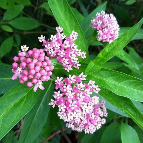 Looking down on a plant with large green leaves and bunches of small pink and white flowers