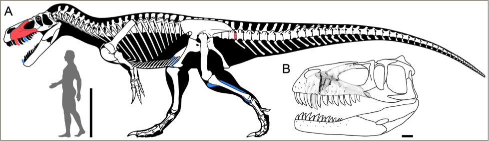 Black and white illustration of a large dinosaur skeleton standing over a human silhouette, with a few bones colored in red or blue.