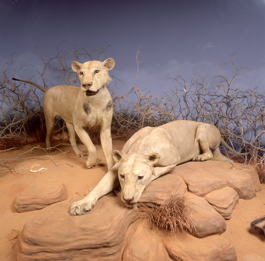 Two lions in a diorama, one standing and one lying down on a brown rocky surfact