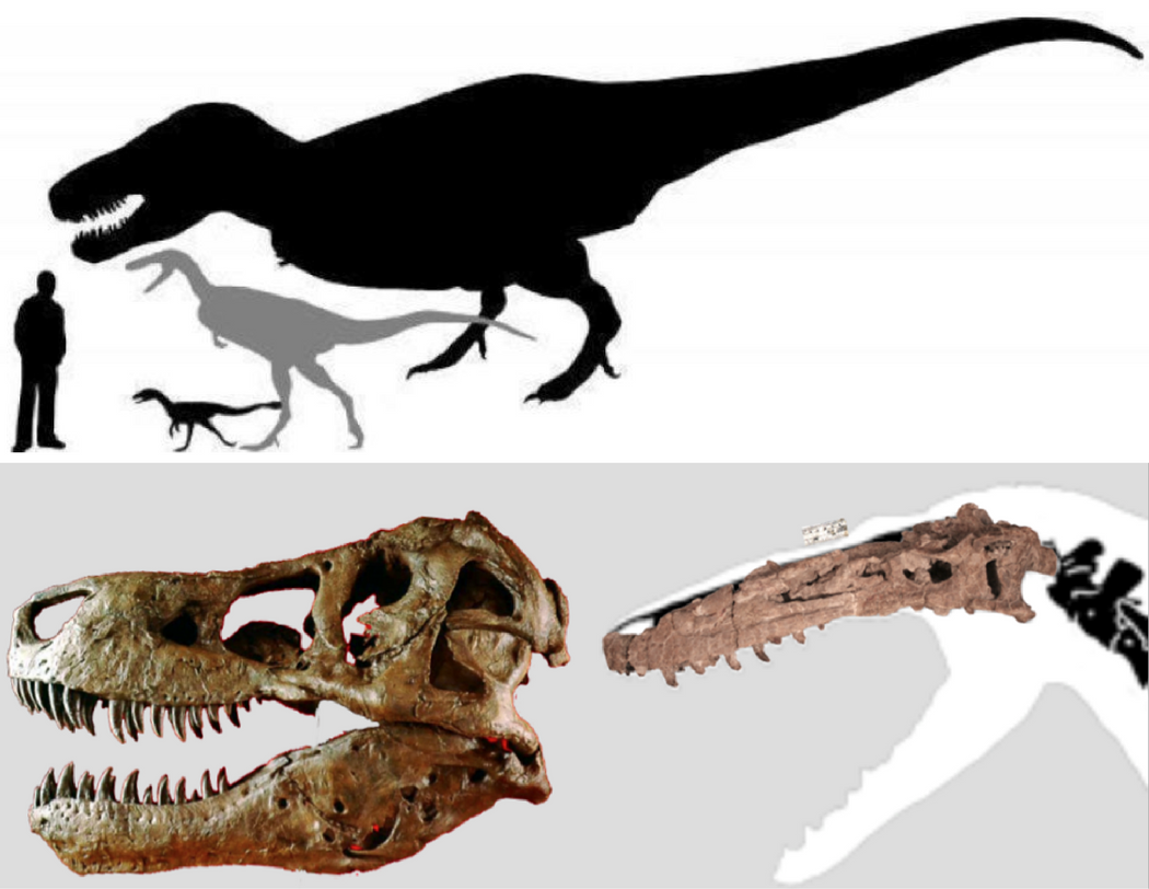 Two images, one illustrating the different sizes of three dinosaurs, and the other showing photographs of dinosaur skulls