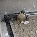 Belmont/Addison Peregrine Webcam