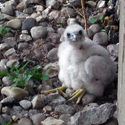 UIC Peregrine Webcam