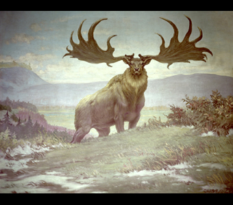A Charles Knight mural of an Irish deer, Megaloceros, which possessed the most ponderous antlers of any known deer, their spread being an incredible eight or more feet. It is shown standing on a landscape of rolling, grassy hills.